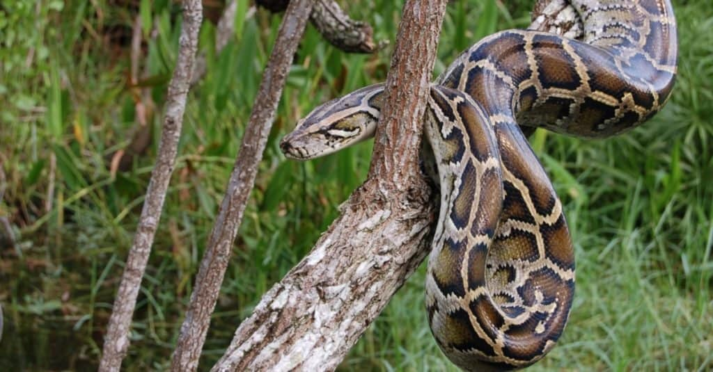 Burmese Python hanging in a tree, waiting for prey.
