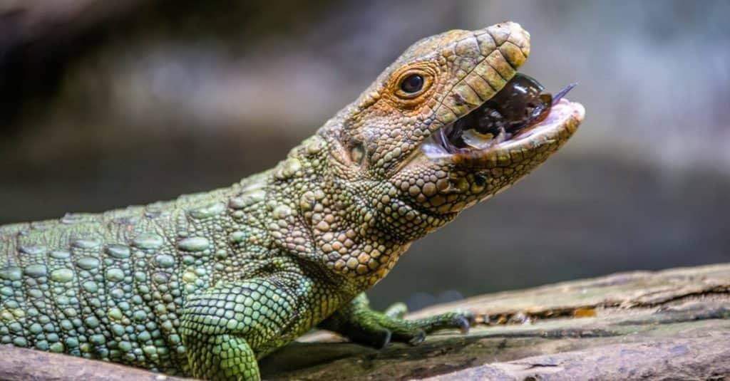 A Northern caiman lizard eating golden apple snails.
