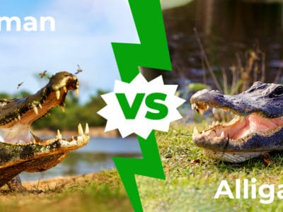 A Caiman vs. Alligator – Can You Tell the Difference? 5 Main Differences Explained