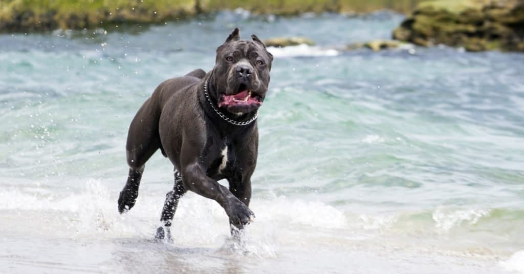 Cane Corso dog playing the surf at the sea.