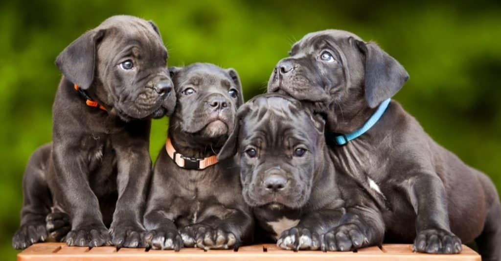 Adorable Cane Corso puppies playing.