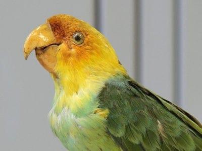 A Carolina Parakeet