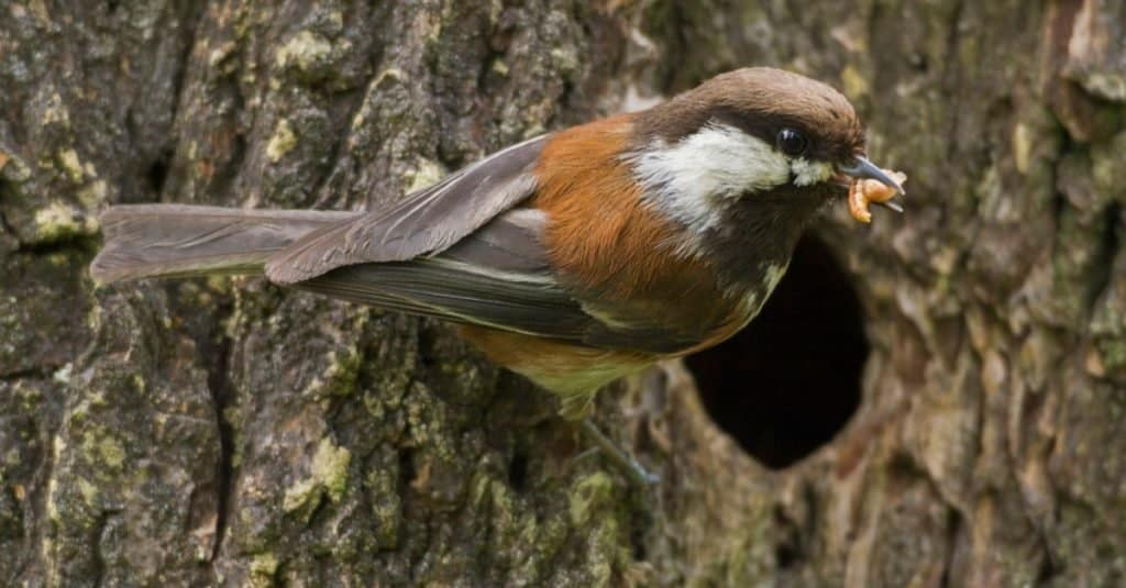 Chestnut-backed Chickadee at nest cavity with food for the babies.