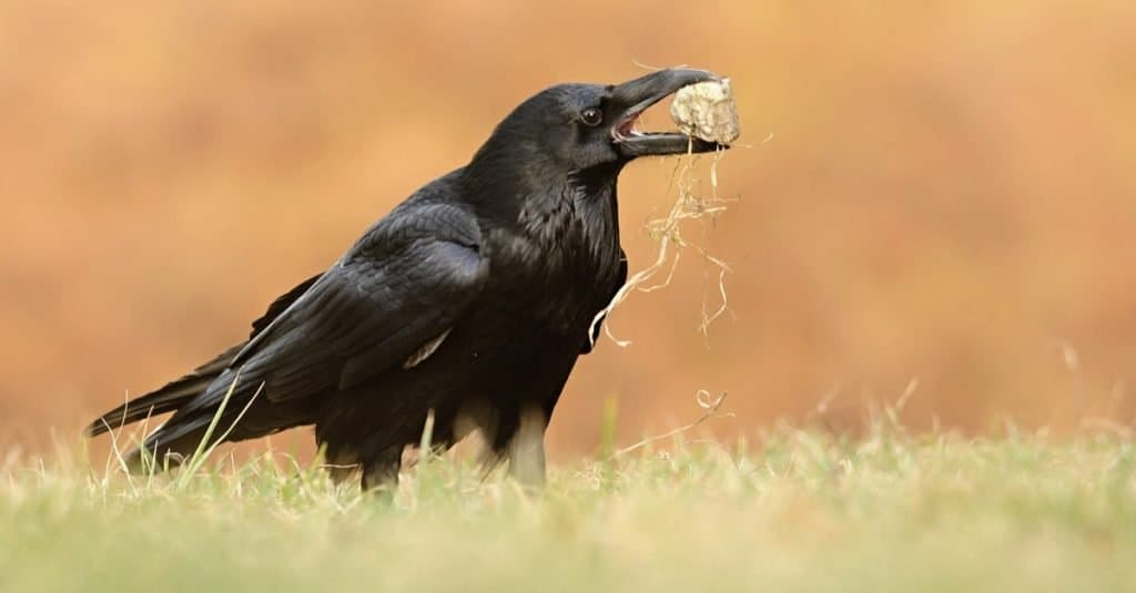 The Common Raven (Corvus corax), also known as the northern Raven, playing with a stone.