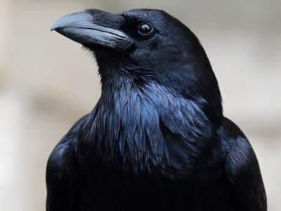 A Corvus corax