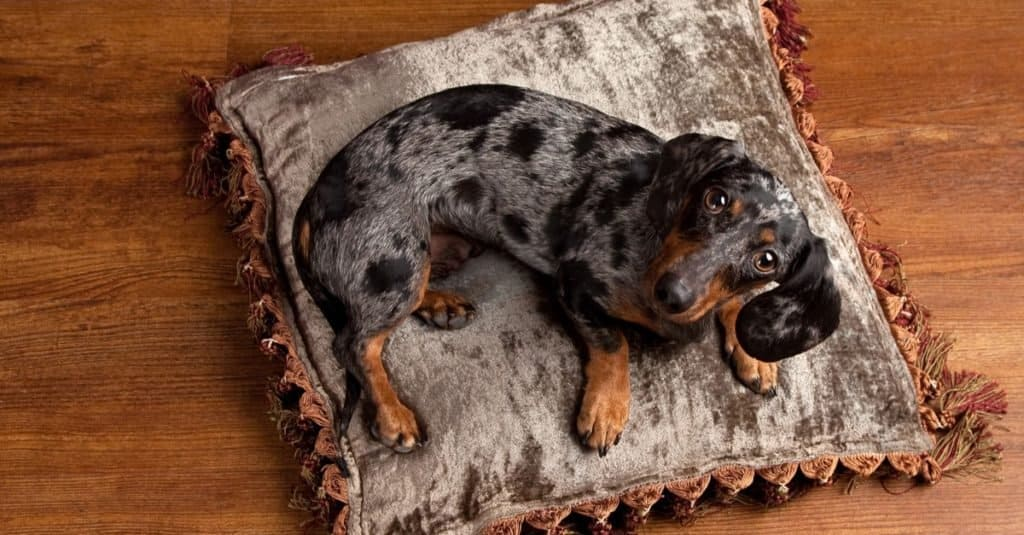 Beautiful silver and black Dapple Dachshund looks up at the camera from his bed on a silver pillow.