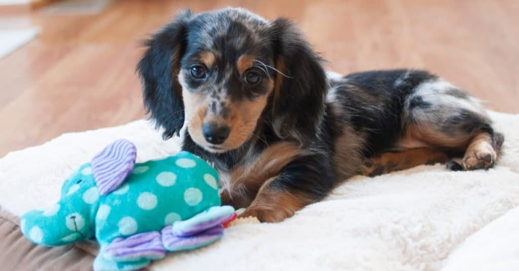 Longhaired Miniature Dapple Dachshund Puppy laying on dog bed with toy.