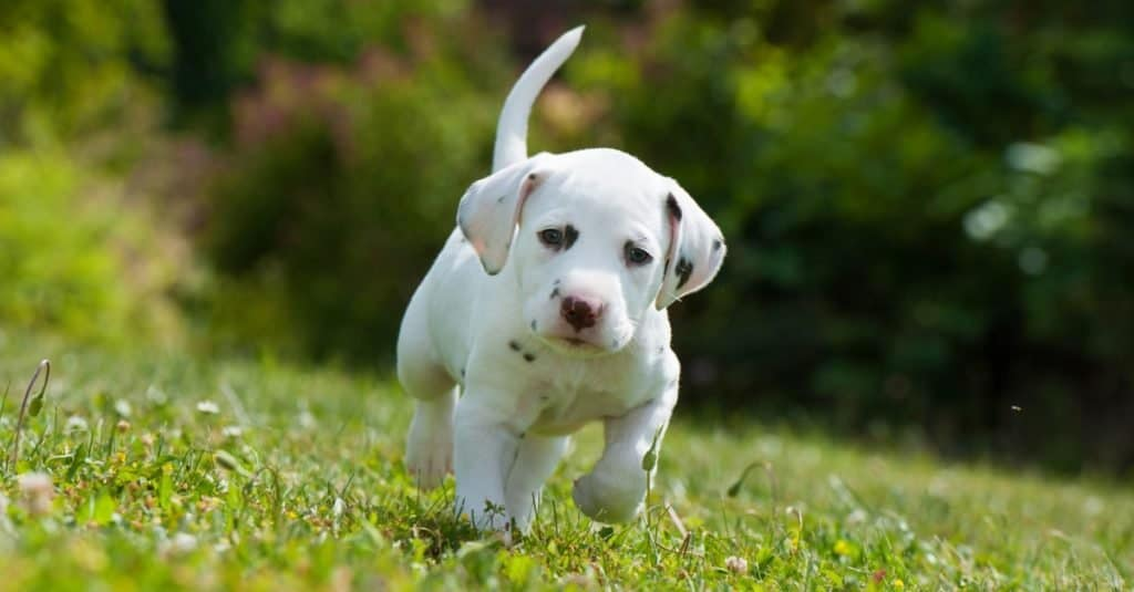 Dog Facts for Kids: Dalmatians