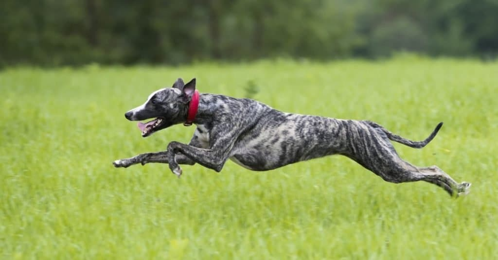 Dog Facts for Kids: A greyhound