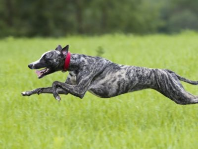 A Top 11 Fastest Dogs