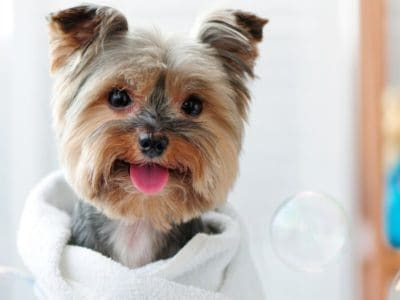 A Best Dry Shampoo for Dogs: Reviewed for 2021