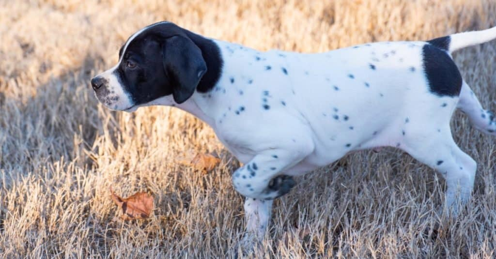 Cute English Pointer puppy pointing at prey.