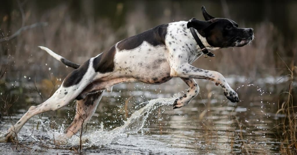 English pointer jumping into the water in a swamp.