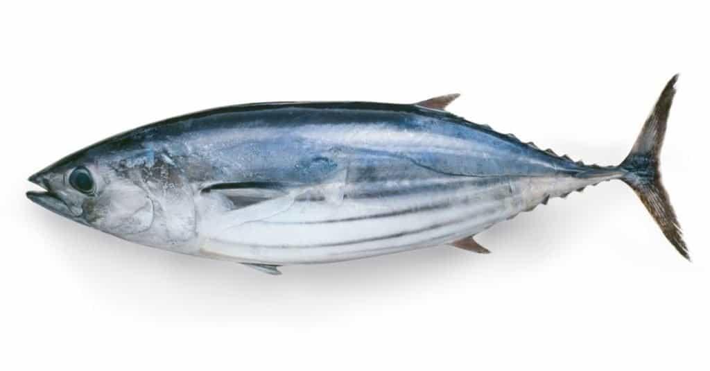 El animal marino más rápido: Bonito