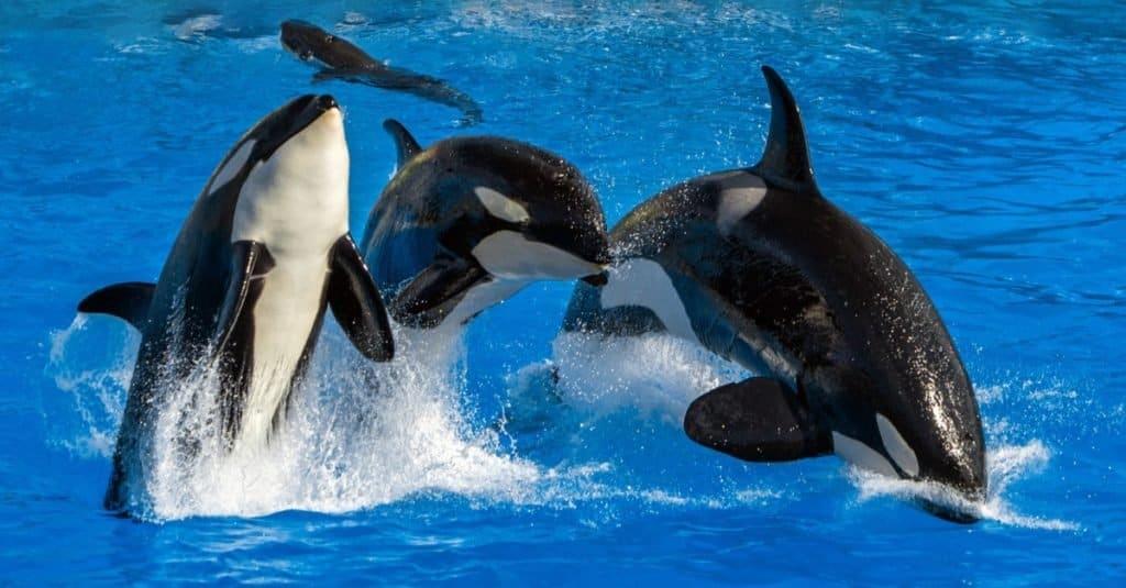 El animal marino más rápido: ballena asesina