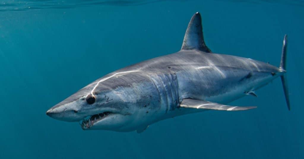 El animal marino más rápido: tiburón mako