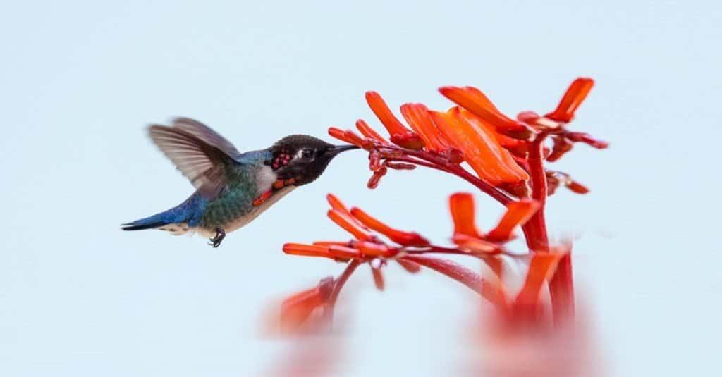 Animal gordo: colibrí abeja