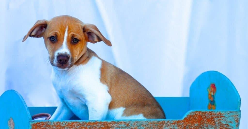 Cute Feist puppy sitting in a baby rocker.
