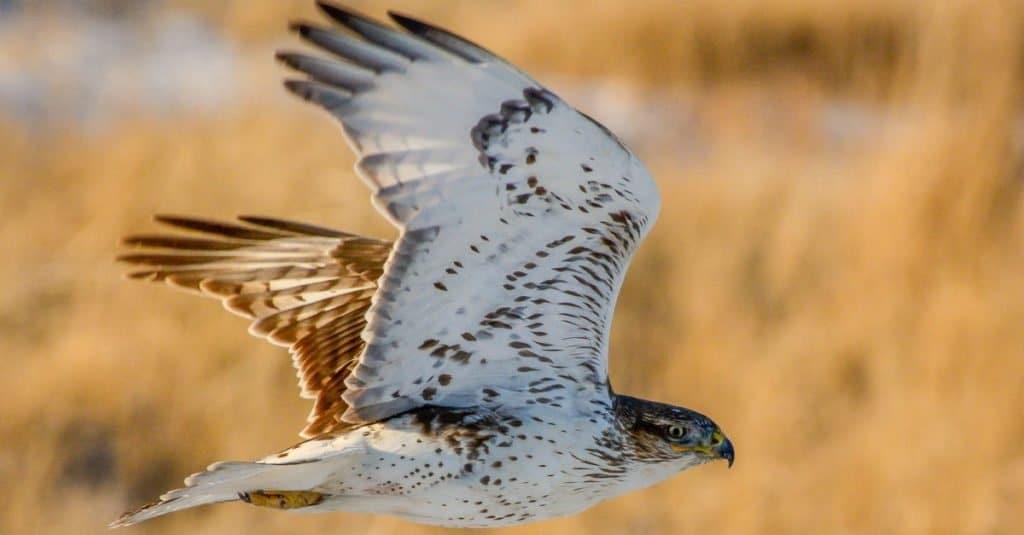 Ferruginous hawk flying low over grassland.