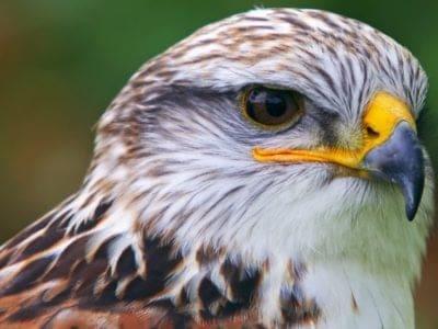 A Ferruginous Hawk