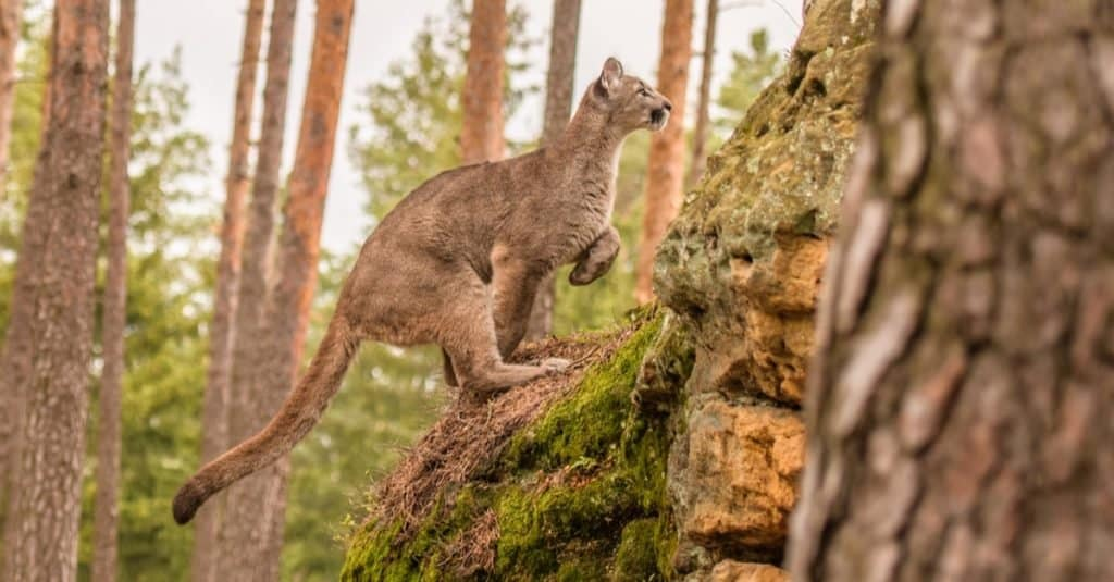 The endangered Florida Panther going up a hill.