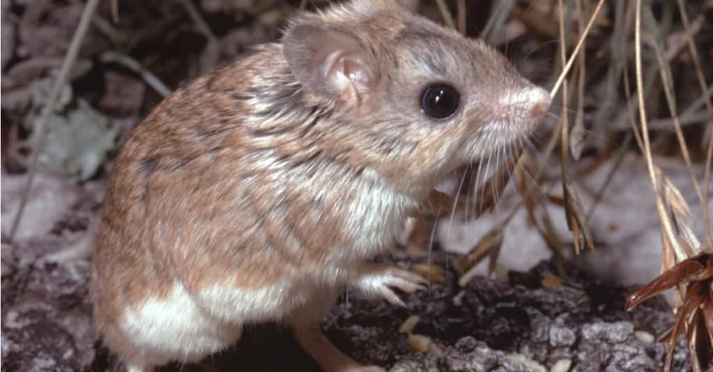 Northern Grasshopper Mouse sniffing the air, looking for prey.