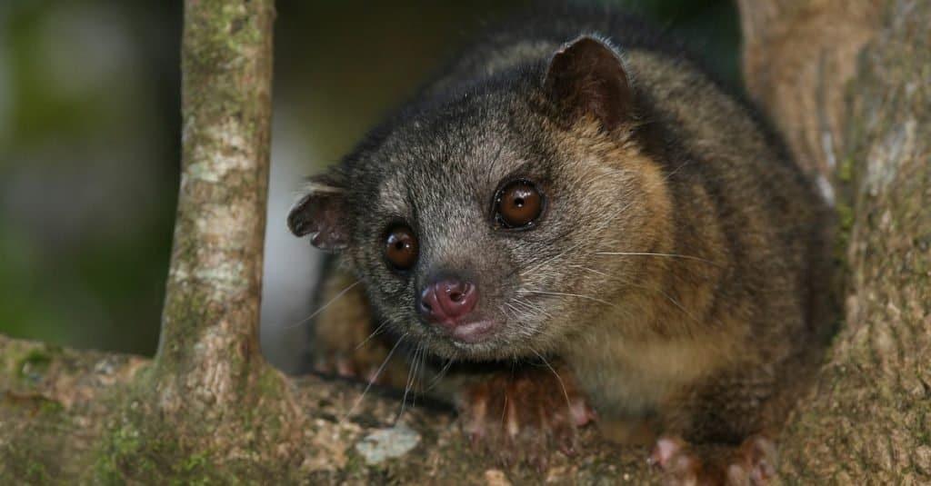 Los animales más felices: Kinkajou