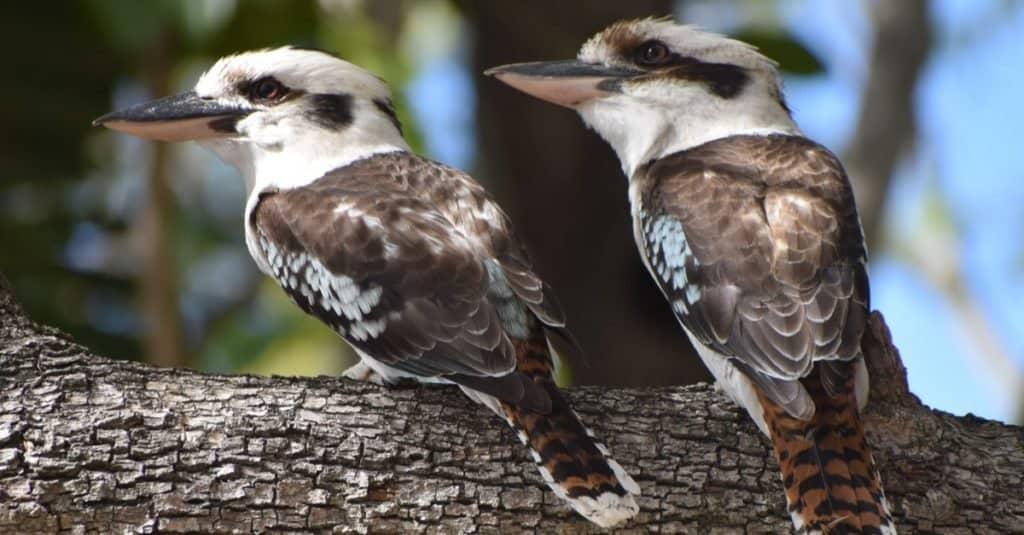Animales más felices: Kookaburra riendo