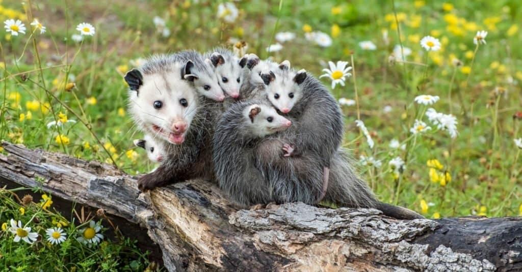 Animales más felices: zarigüeya