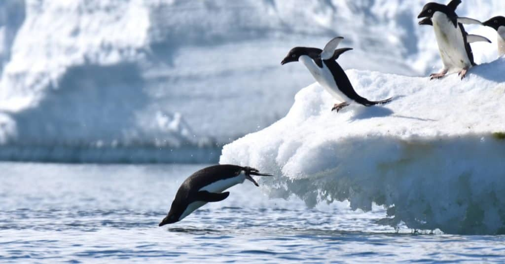Animales más felices: pingüino