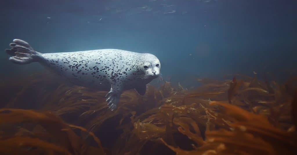 Harbor Seal diving among the kelp.