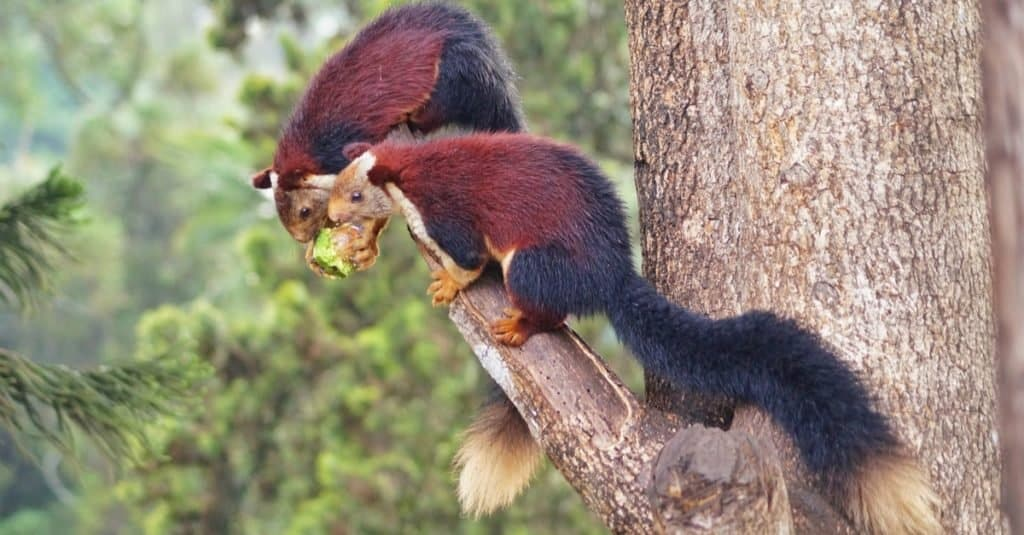 The Indian giant squirrel, or Malabar giant squirrel, (Ratufa indica) is a large tree squirrel species in the genus Ratufa native to forests and woodlands in India.