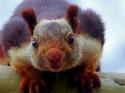 A Indian Giant Squirrel