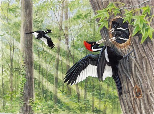 Illustration of Ivory-Billed Woodpeckers at their nest.
