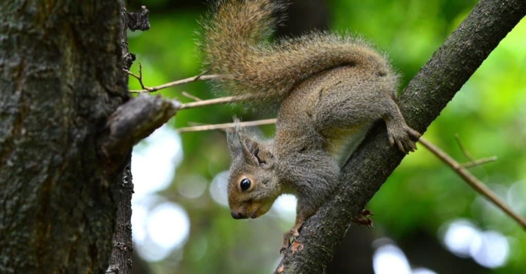 Japanese squirrel jumping between branches in the garden.