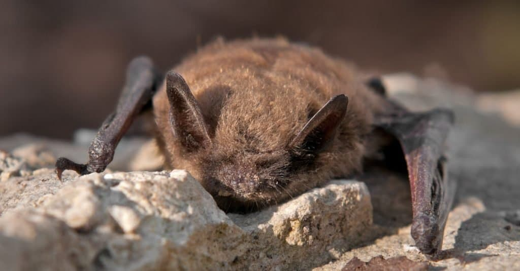 Little Brown Bat sitting against a rockface.