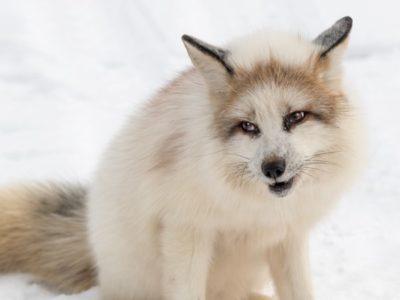 A Marble Fox