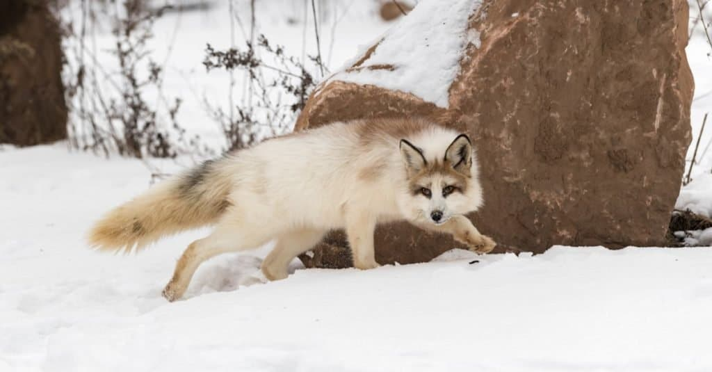 Red Marble Fox (Vulpes vulpes) prowls near a rock in winter.