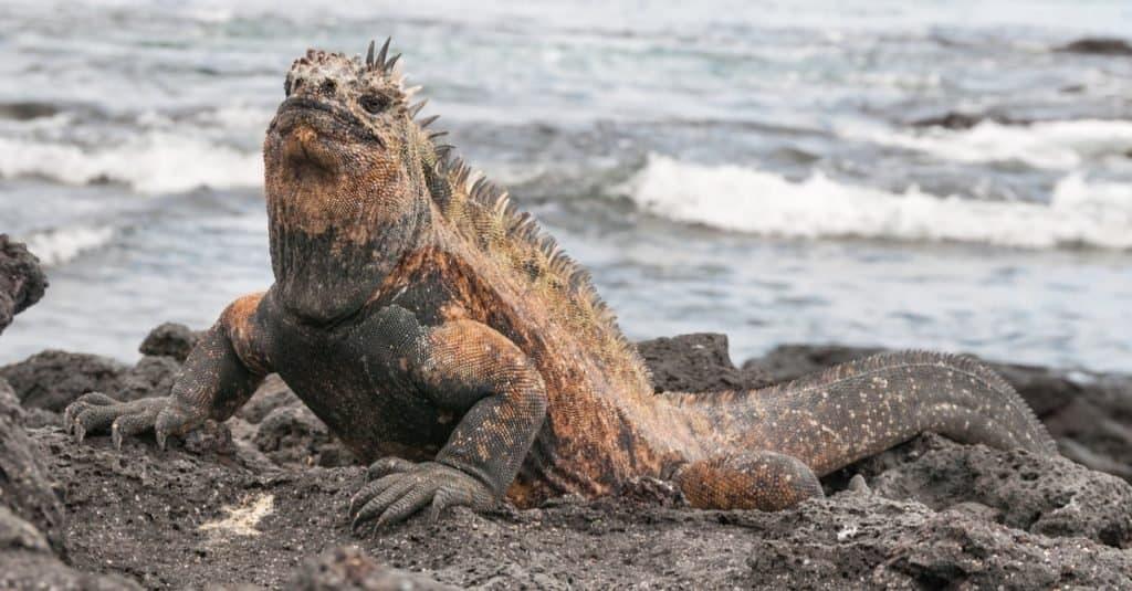 Colorful adult male marine iguana basking on volcanic rock.