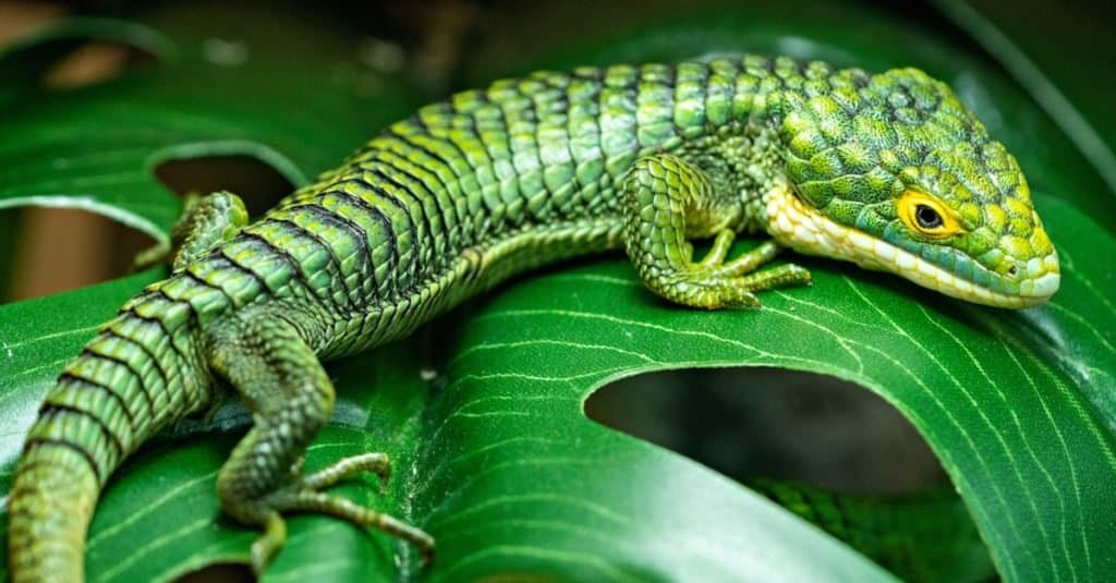 Abronia gramina, Mexican Alligator Lizard, sitting on a leaf in the forest.