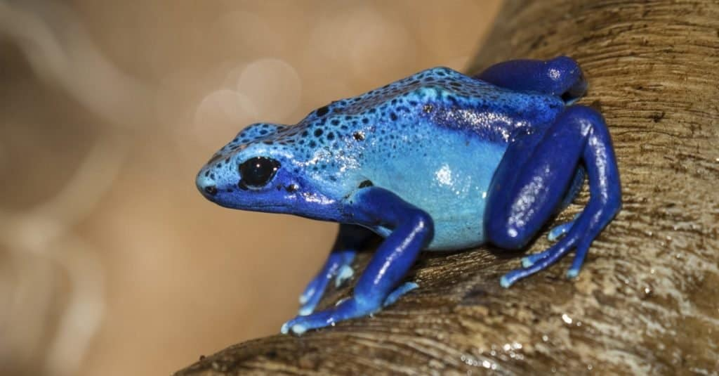 Most Colorful Animals: Blue Dart Frog