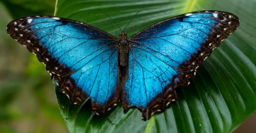 Most Colorful Animals: Blue Morpho Butterfly