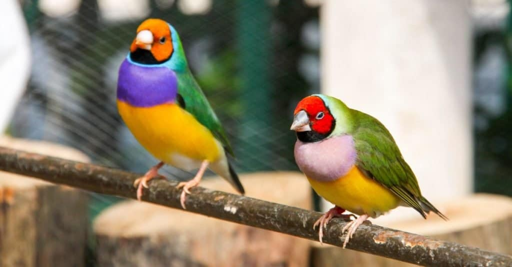 Most Colorful Animals: Gouldian Finch