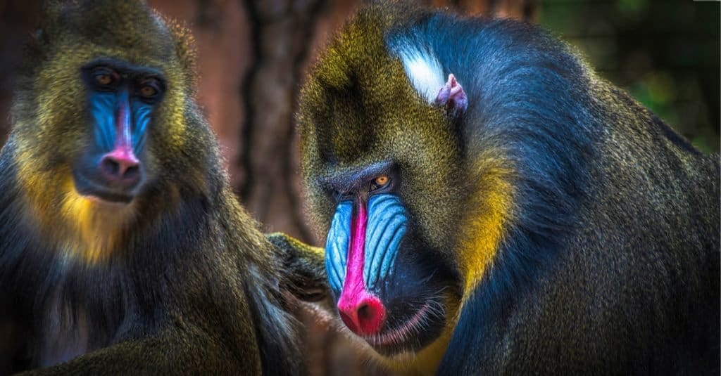 Most Colorful Animals: Mandrill