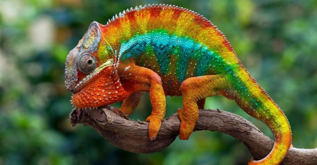 Most Colorful Animals: Panther Chameleon