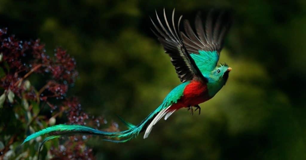 Most Colorful Animals: Resplendent Quetzal
