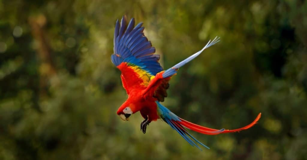 Most Colorful Animals: Scarlet Macaw