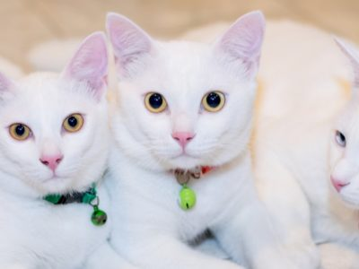 A The 15 Most Expensive Cat Breeds