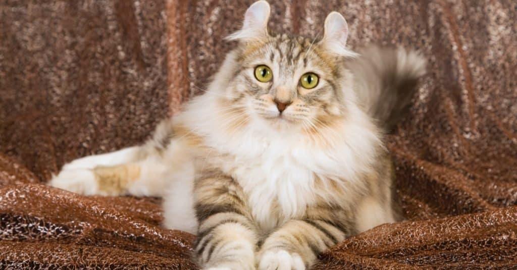 Razas de gatos más caras: American Curl