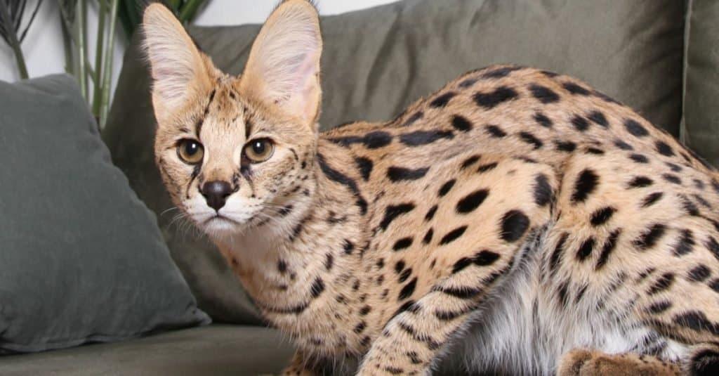 Razas de gatos más caras: Ashera